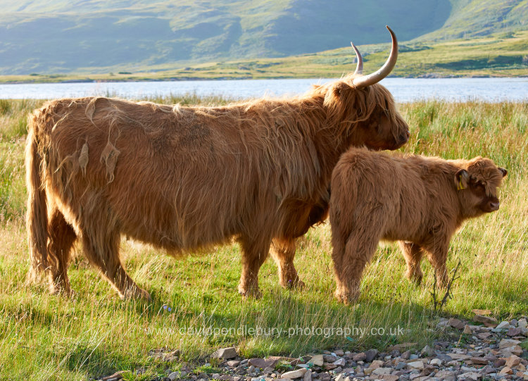 Highland Cow And Baby Isle Of Mull