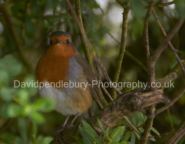 Robin In The Bushes