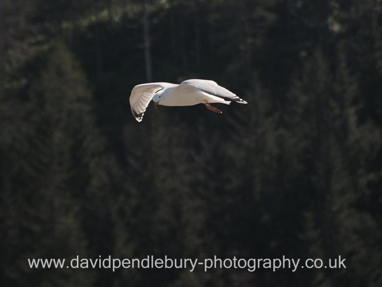 Seagull In Flight Nr The Isle Of Skye