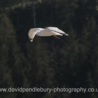 Seagull In Flight Nr The Isle Of Skye
