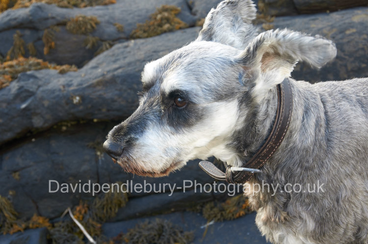 Spike With His Ears In The Wind Isle Of Raasay