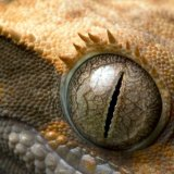 Gecko Eye 016