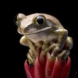 Tree Frog 033