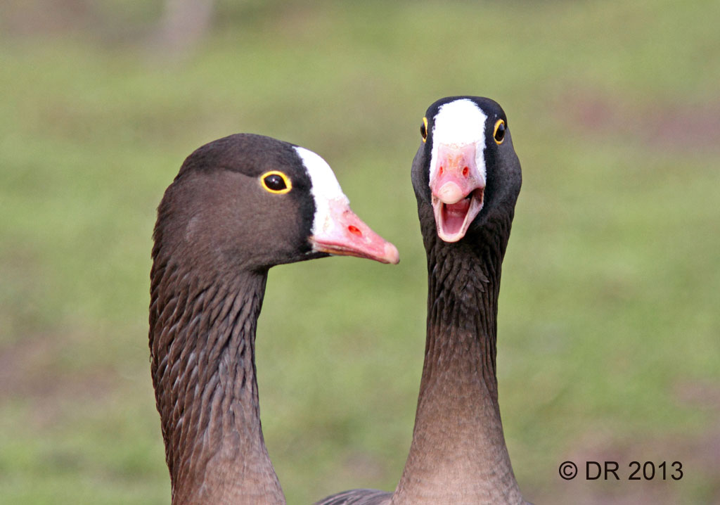 Lesser White-fronted Geese - in discussion? (Slimbridge collection)