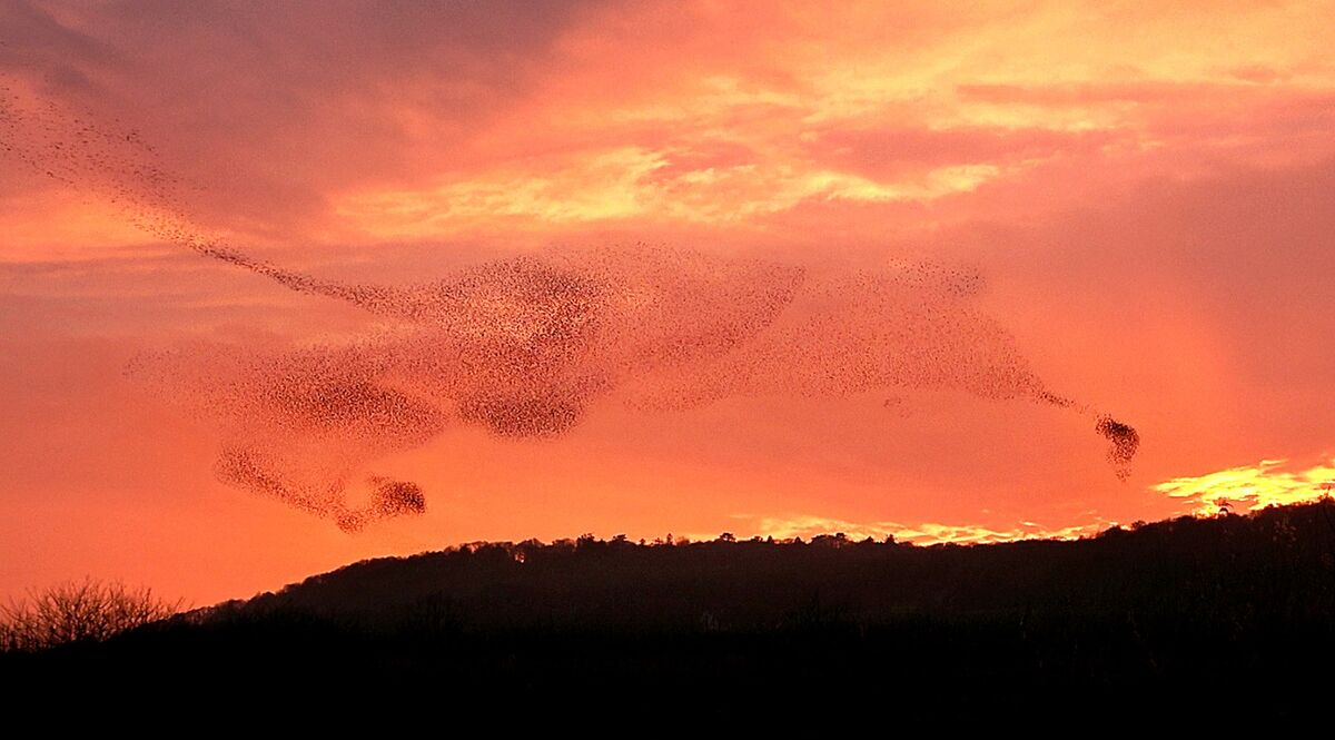 Starlings at RSPB Leighton Moss