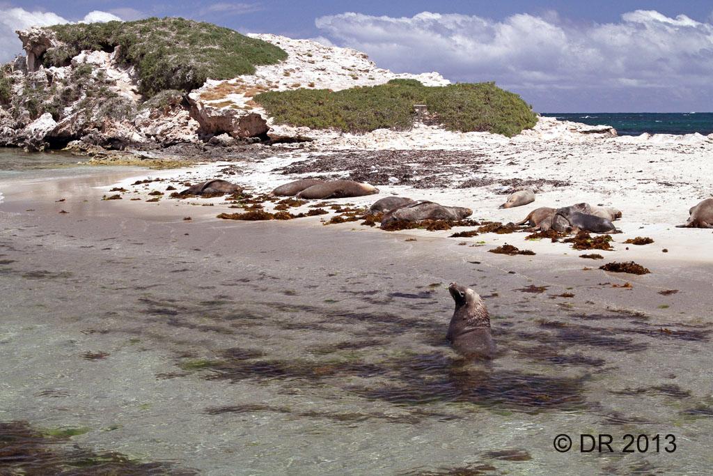 Australian Sealions on the beach at Penguin Island W.A. (Neophoca cinerea)