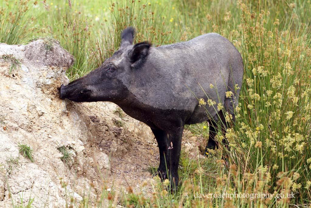 Wild Boar (Sus scrofa) 5