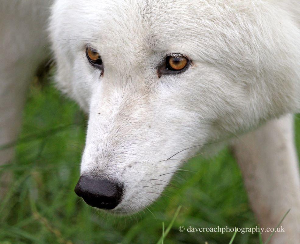Arctic Wolf (Canis lupus arctos) 1