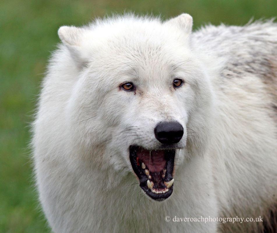 Arctic Wolf (Canis lupus arctos) 2