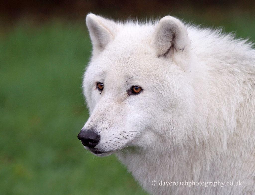 Arctic Wolf (Canis lupus arctos) 3