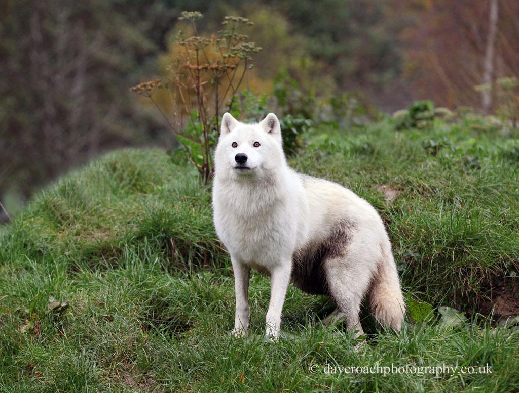 Arctic Wolf (Canis lupus arctos) 6