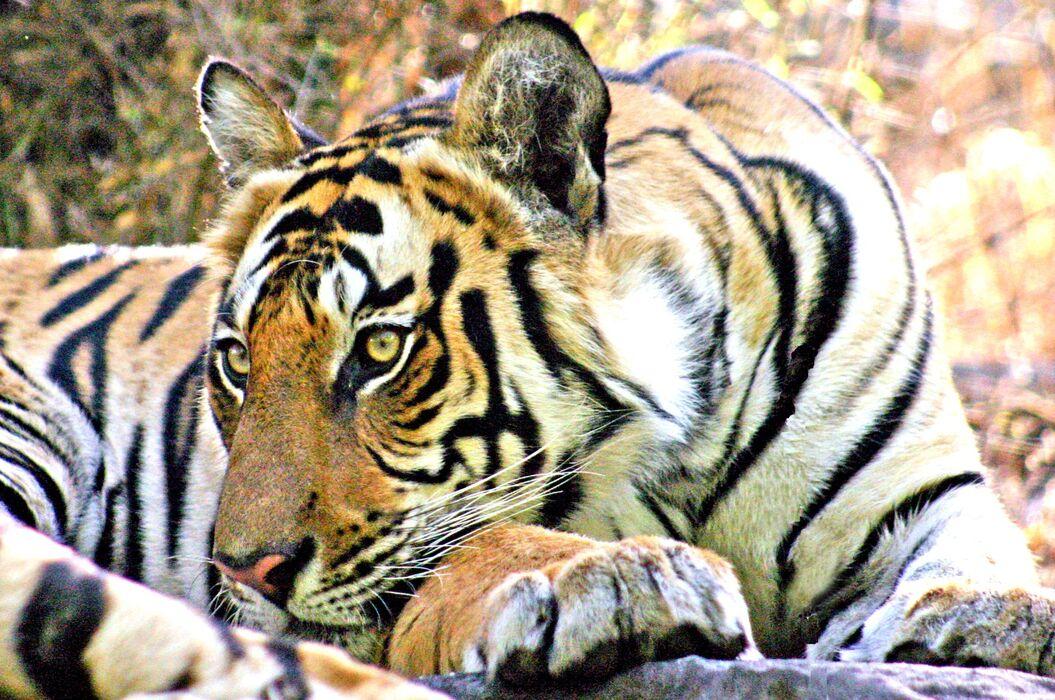 Bengal Tiger (Panthera tigris tigris) 11. Not bothered!