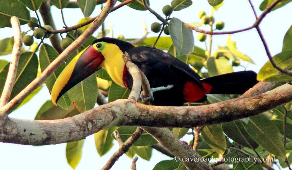 Black-mandibled Toucan (Ramphastos ambiguus)