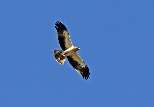 Booted Eagle ((Hieraaetus pennatus)