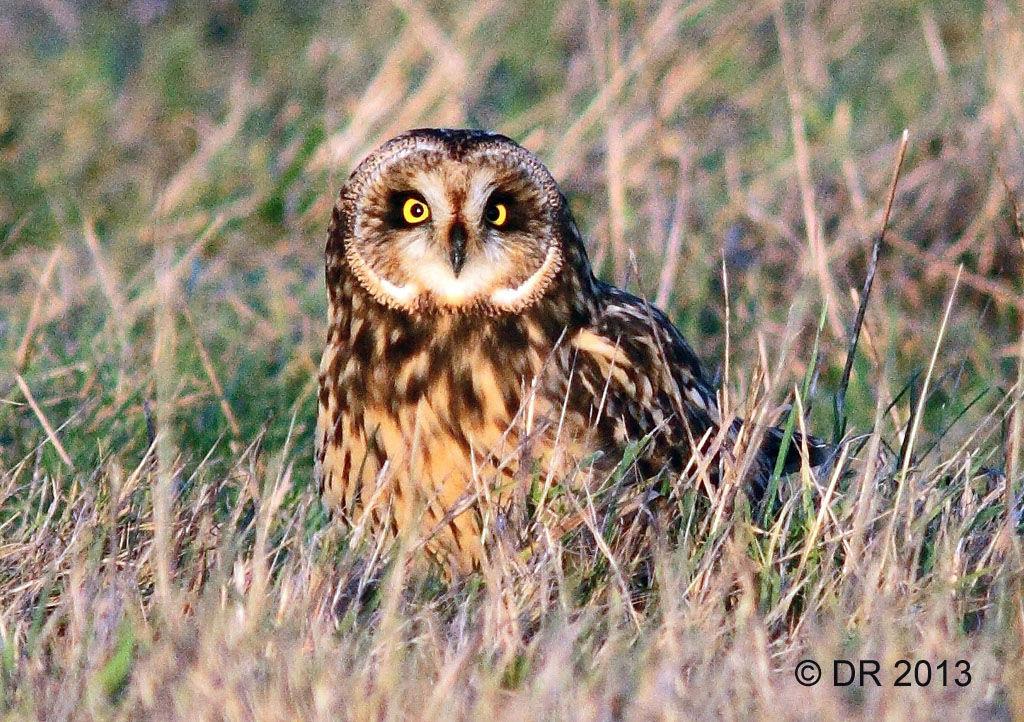 Short-eared Owl (Asio flammeus) 1
