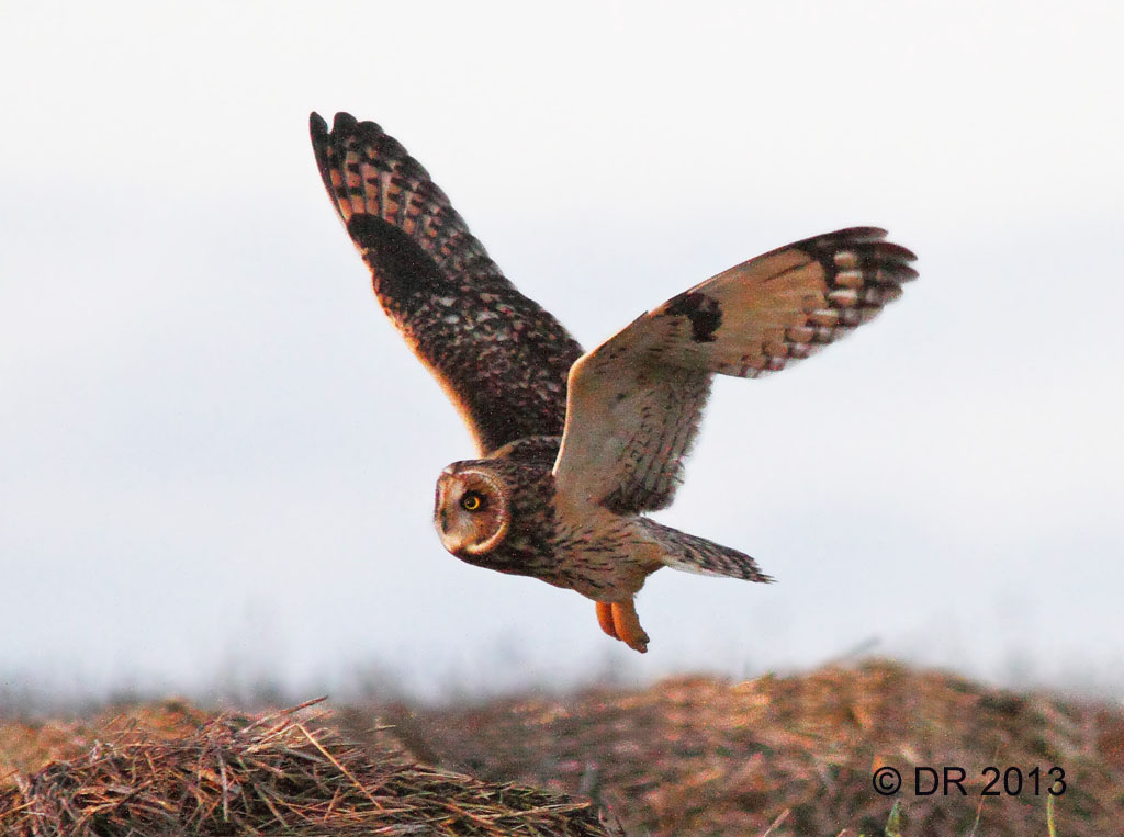 Short-eared Owl hunting at dusk (Asio flammeus) 2