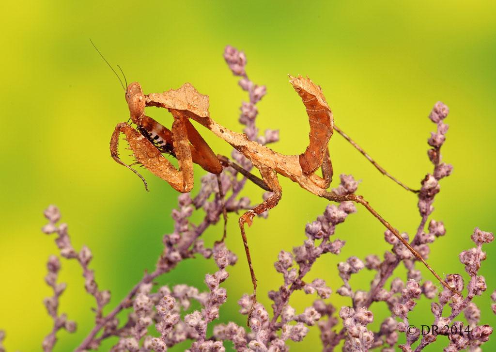 (i) Malaysian dead-leaf Mantis (Deroplatys Lobata)