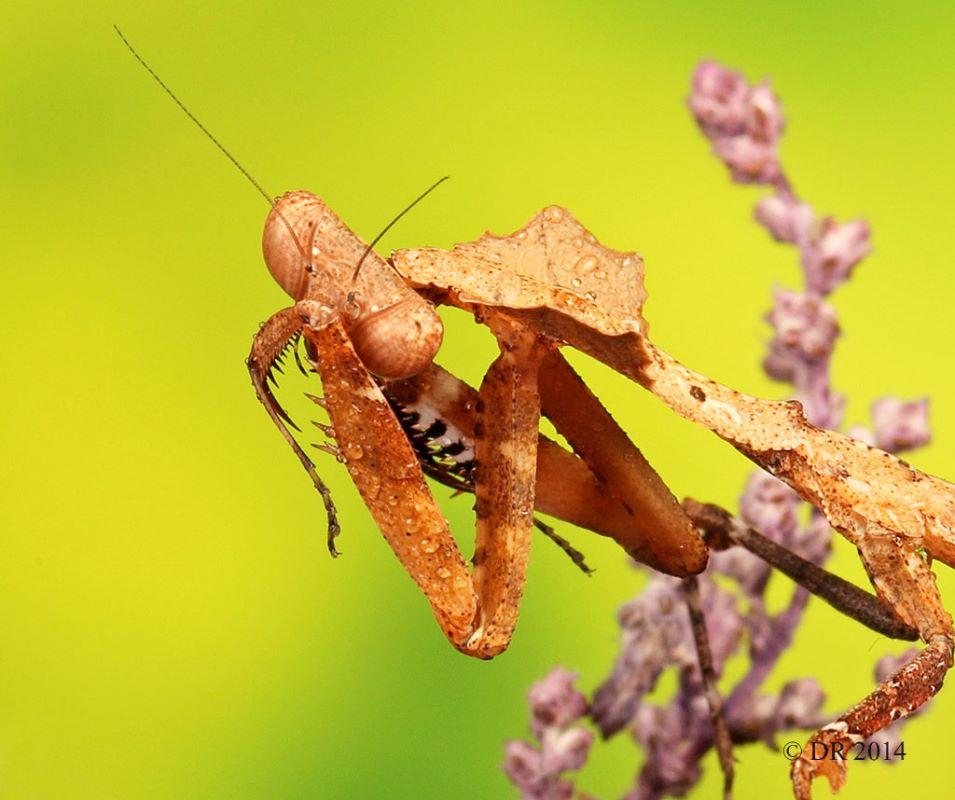 (ii) Malaysian dead-leaf Mantis (Deroplatys Lobata)