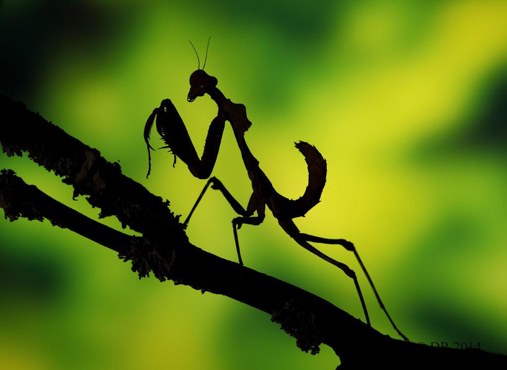 (iii) Malaysian dead-leaf Mantis in silhouette (Deroplatys Lobata)