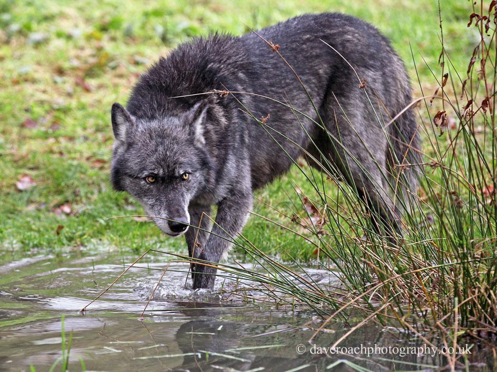 Northwestern Wolf (Canis lupus occidentalis) 12