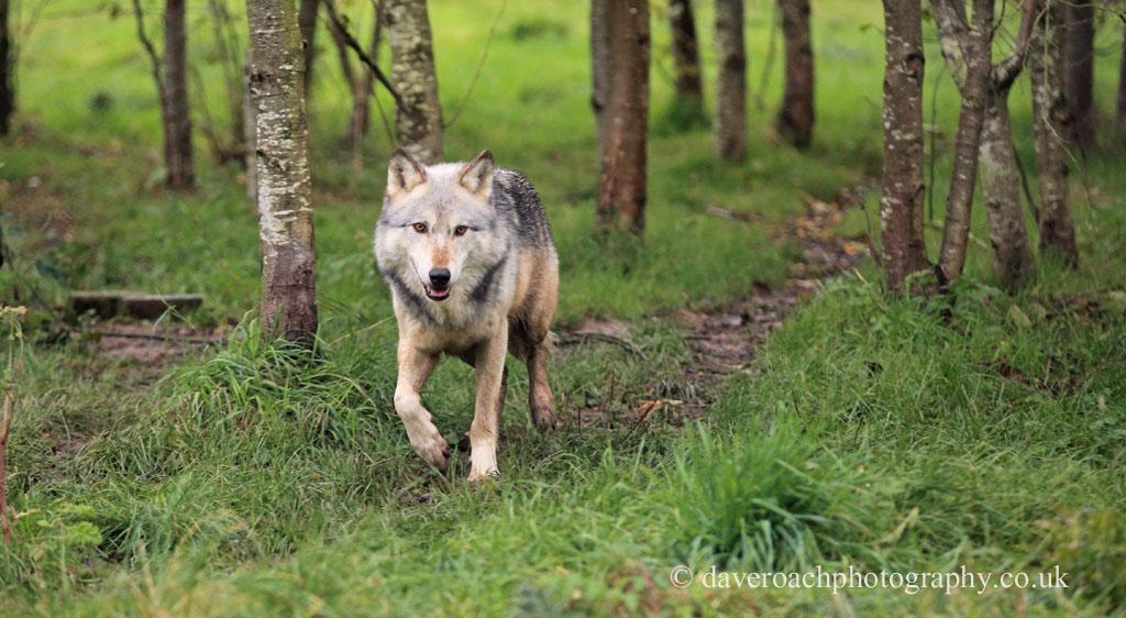 Northwestern Wolf (Canis lupus occidentalis) 2