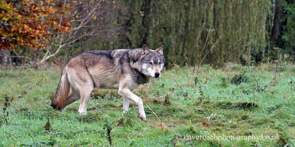Northwestern Wolf (Canis lupus occidentalis) 3