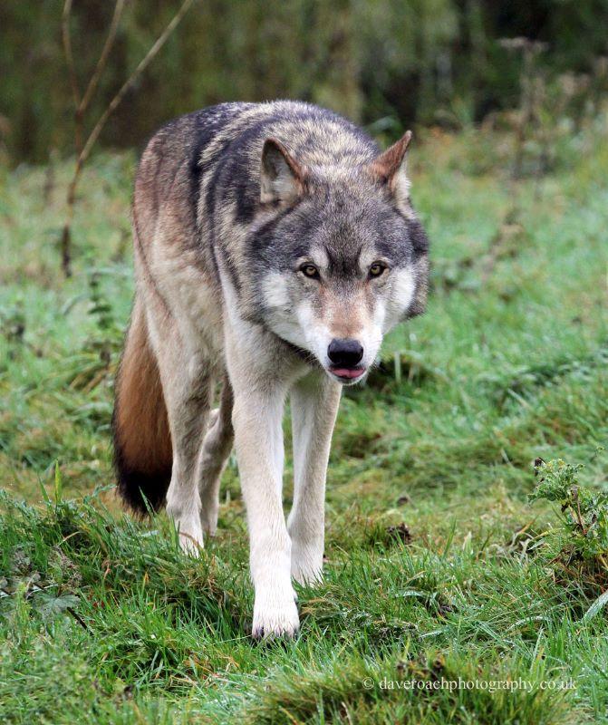 Northwestern Wolf (Canis lupus occidentalis) 4