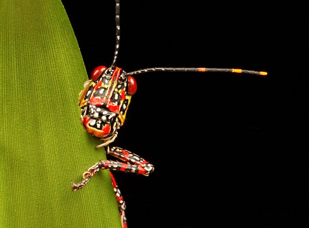 (i) Painted Hopper (Poekilocerus pictus)