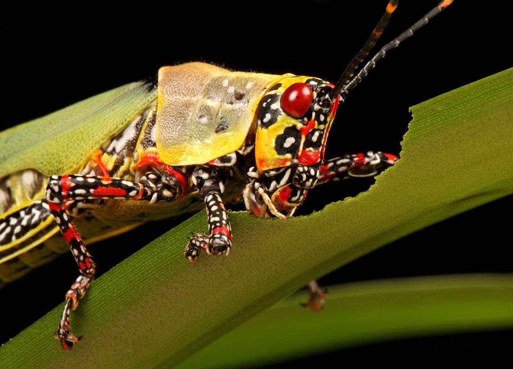 (iv) Painted Hopper (Poekilocerus pictus)