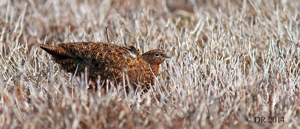 Female Red Grouse (Lagopus lagopus scotica) 5