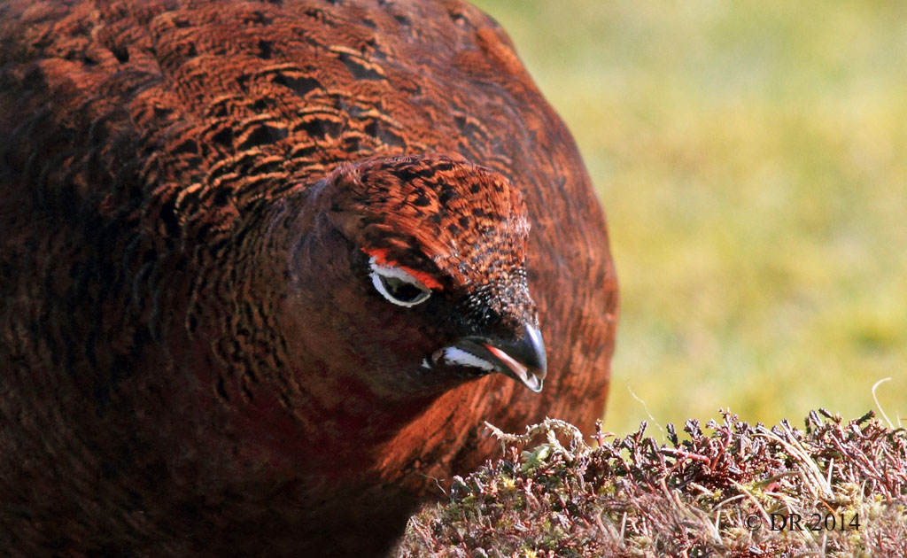 Male Red Grouse feeding on new heather growth (Lagopus lagopus scotica) 9
