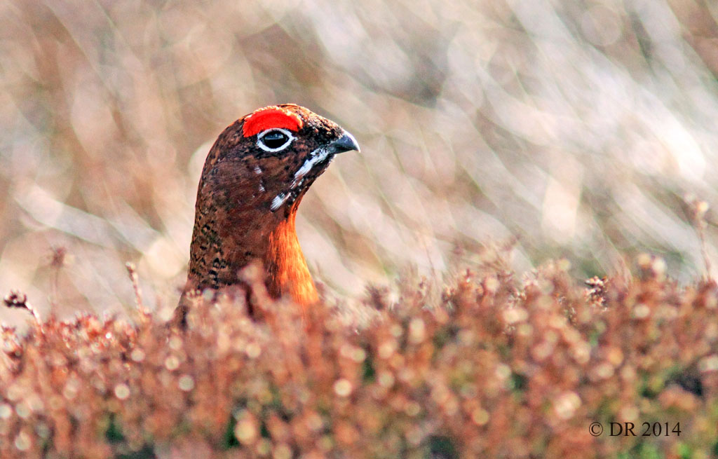 Eyebrows up! Male Red Grouse (Lagopus lagopus scotica) 3