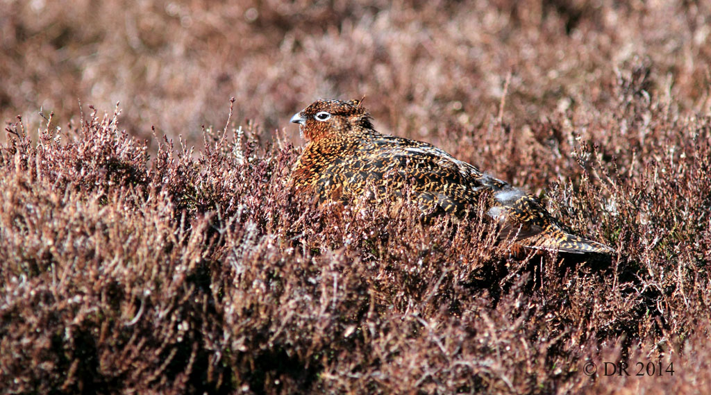Female Red Grouse disguised on the heather (Lagopus lagopus scotica) 4
