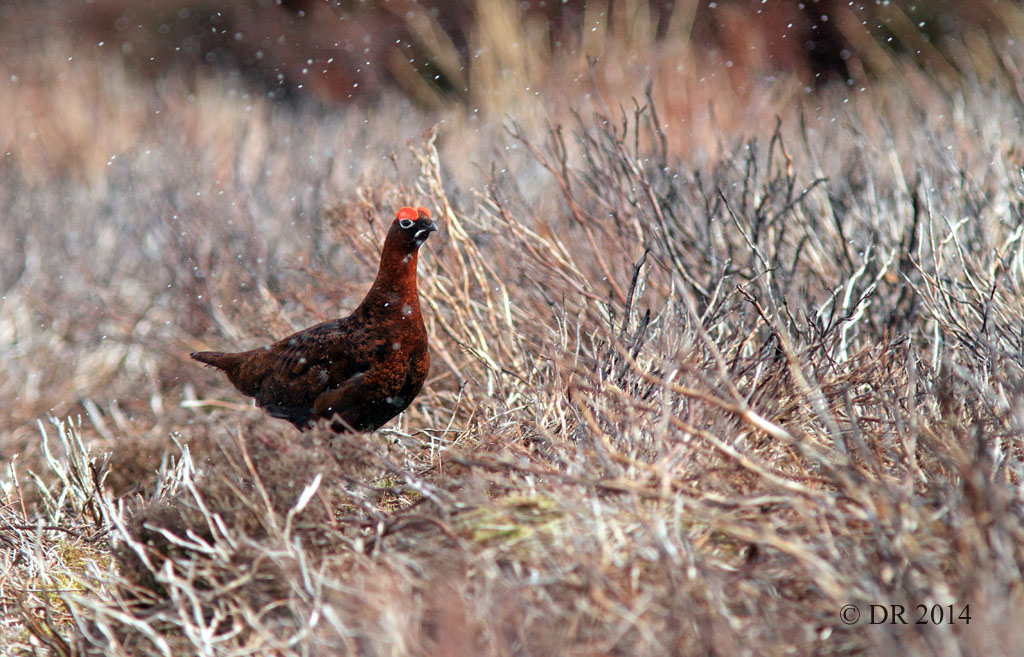 Male Red Grouse in a hailstorm (Lagopus lagopus scotica) 6