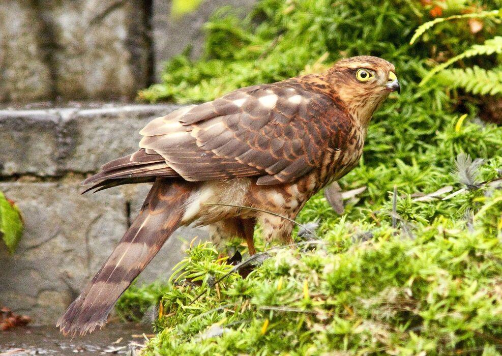 Sparrowhawk (Accipiter nisus) 4