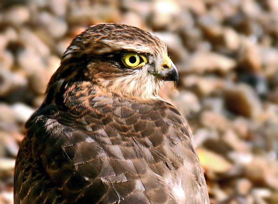 Sparrowhawk (Accipiter nisus) 5