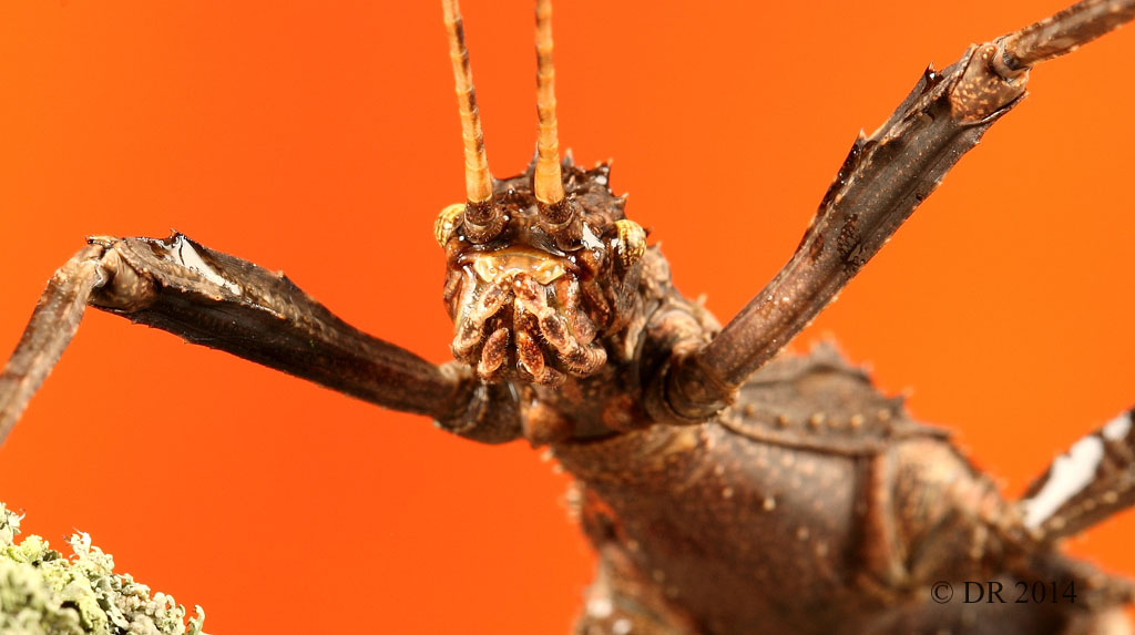 (ii) Giant Spiny (Thorny) Stick Insect (Eurycantha Calcarata)