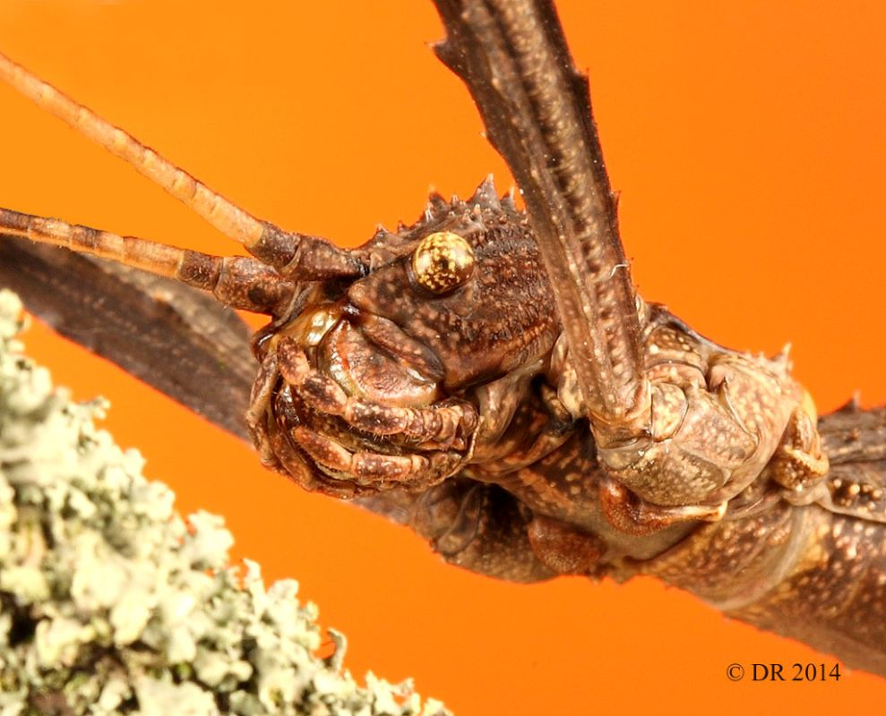 (iii) Giant Spiny (Thorny) Stick Insect (Eurycantha Calcarata)