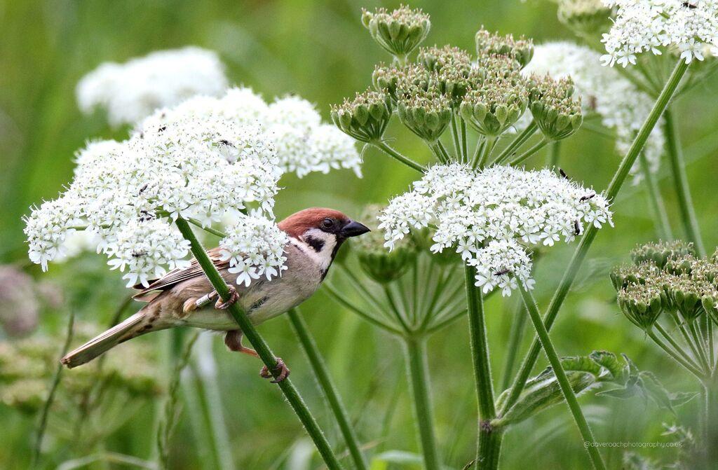 Tree Sparrow (Passer montanus) 1