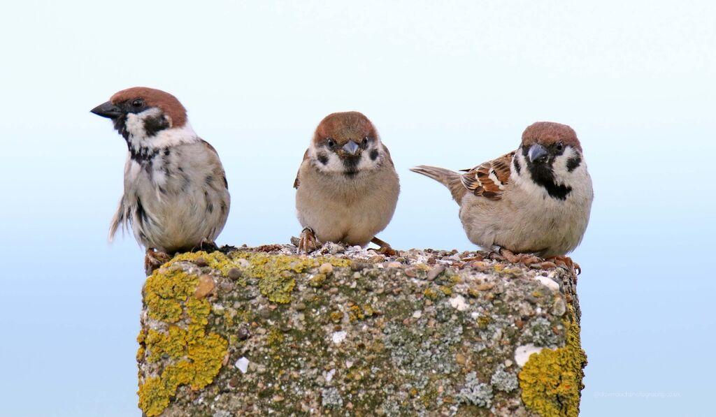Tree Sparrows (Passer montanus) 2