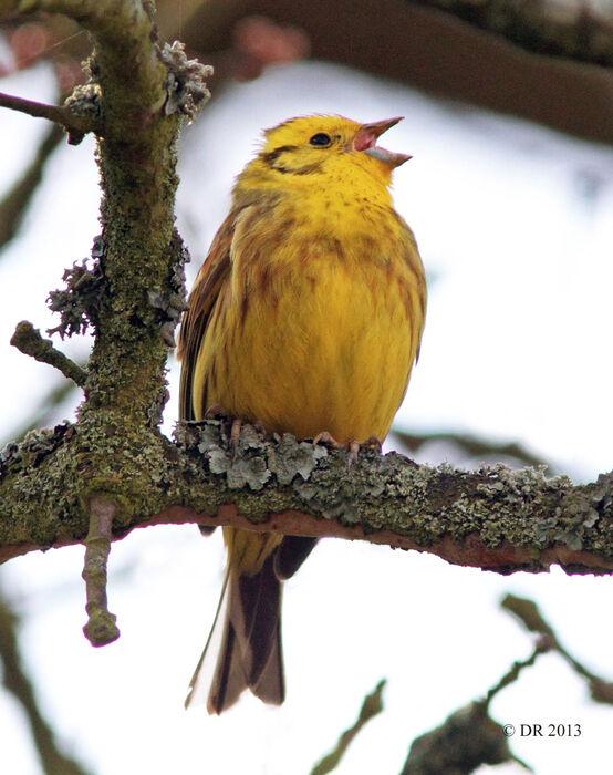 Yellowhammer singing (Emberiza citrinella)