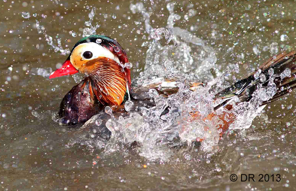 (1) Mandarin Duck bathing - sequence of 3 images