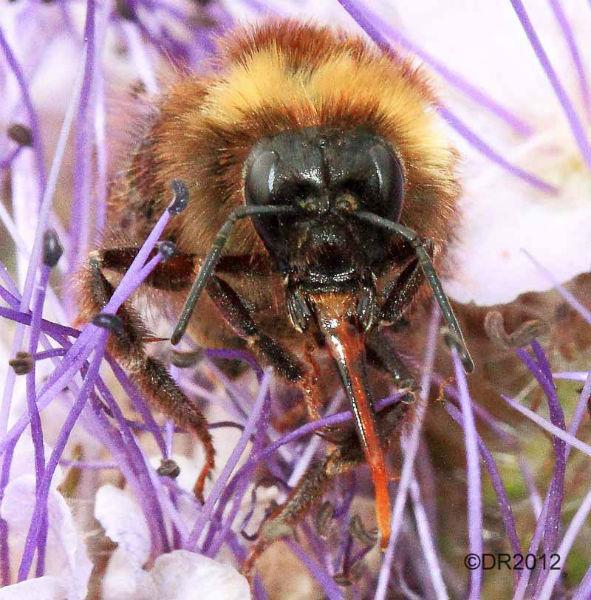 Common Carder Bee (Bombus pascuorum) 2