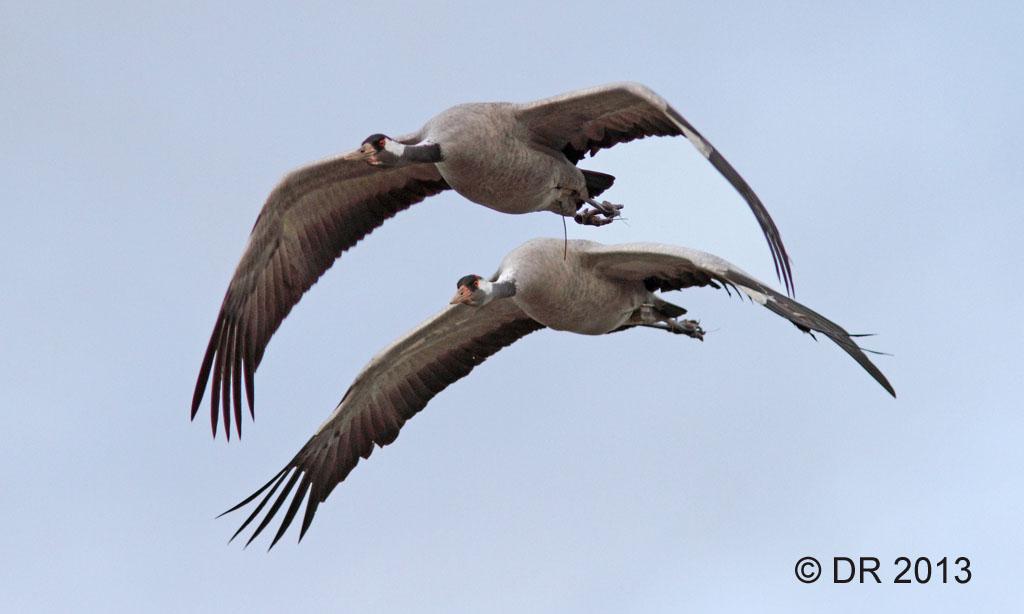 Common Cranes (Grus grus) 2