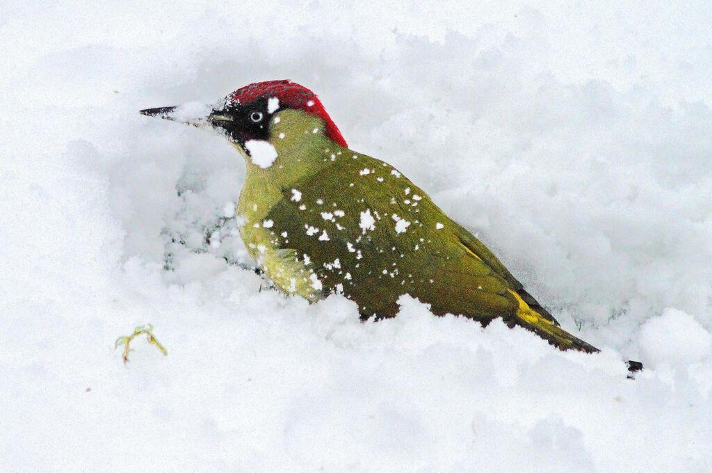Green Woodpecker (Picus viridis) (2)