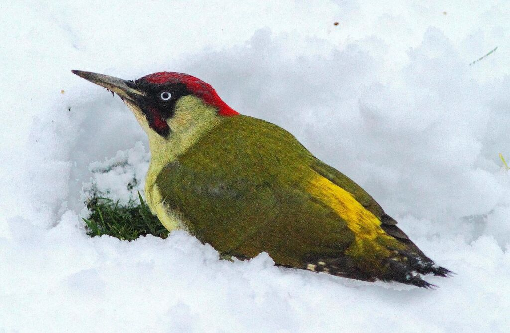 Green Woodpecker (Picus viridis) (1) Foraging in the snow