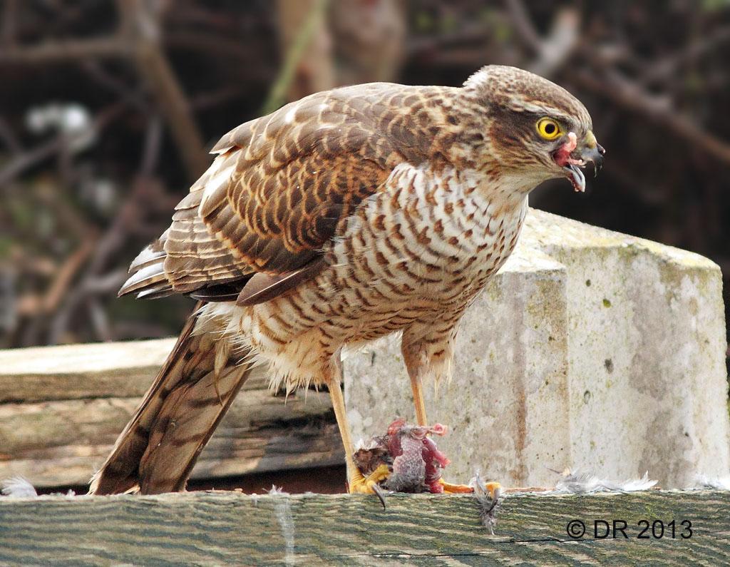 Sparrowhawk eating an unfortunate Dunnock  (Accipiter nisus) 1
