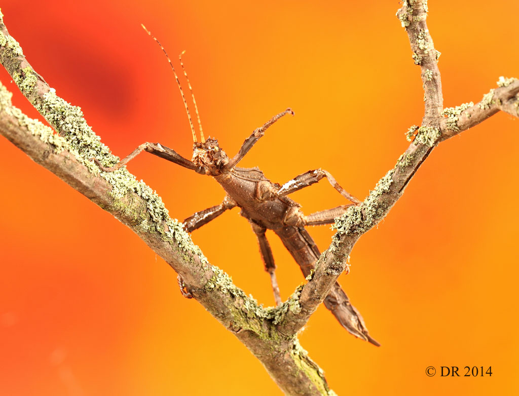 (i) Giant Spiny (Thorny) Stick Insect (Eurycantha Calcarata)