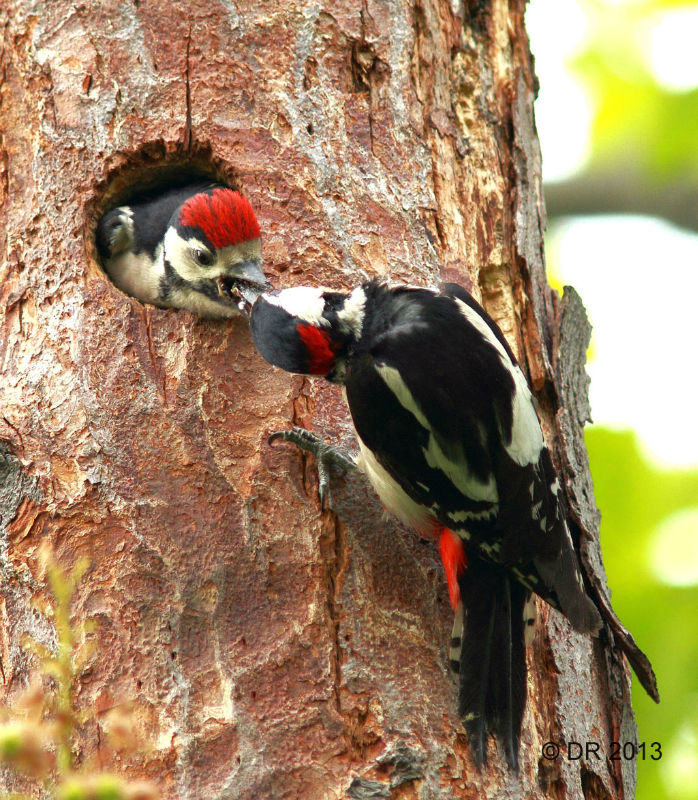 Great Spotted Woodpecker (Dendrocopos major) (4) Feeding a chick