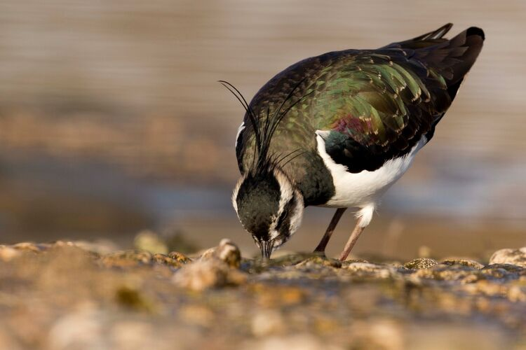 A Lapwing at Slimbridge